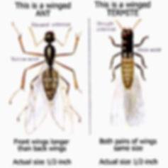 termites_ants1.jpg