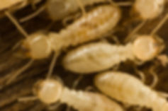 bigstock-Termites-3107083.jpg