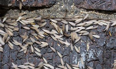 bigstock-Eastern-subterranean-termites--