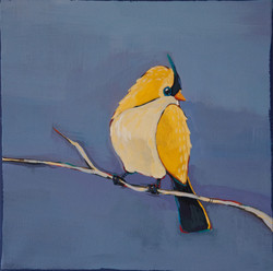 Vandut. Yellow Warbler