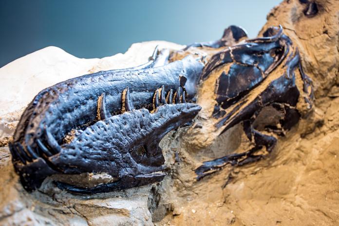 T. rex skull Credit Matt Zeher.jpg