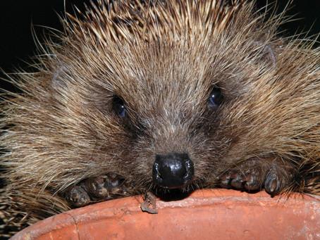 Irish Hedgehog Survey Launched!