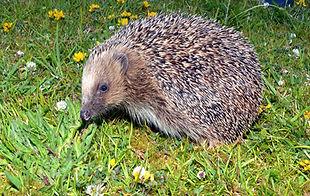 Hog on lawn 5 Pat Morris.jpg