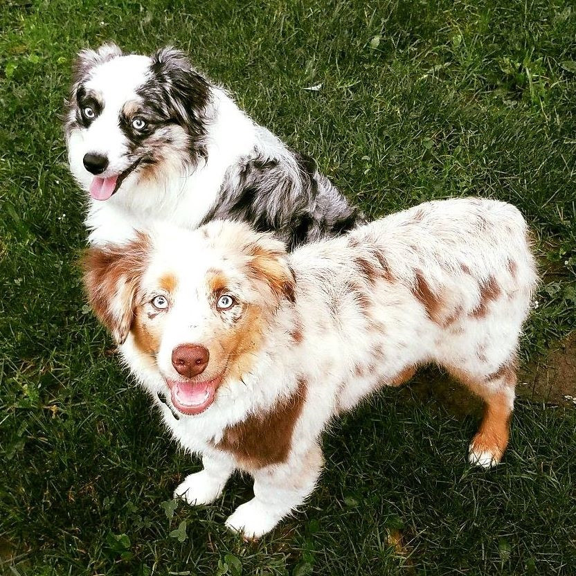 Miniature and Toy Aussie Puppies For Sale