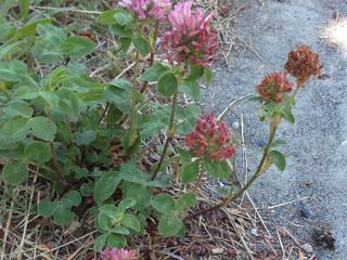 Herb Profile: Red Clover - Trifolium pratense