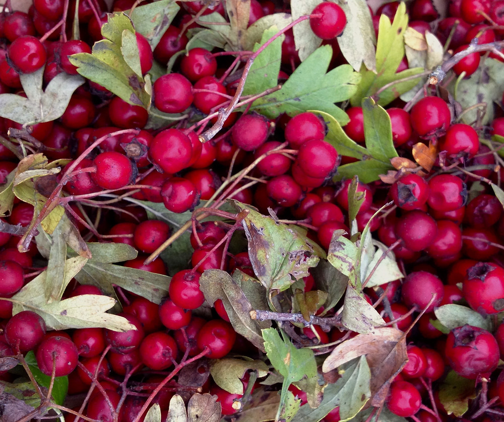 Hawthorne Berries, Leaves and Twigs