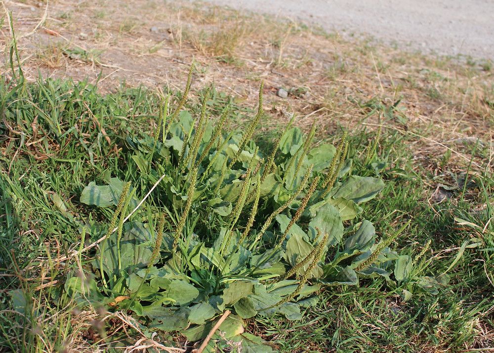 Broad Leaf Plantain Patch