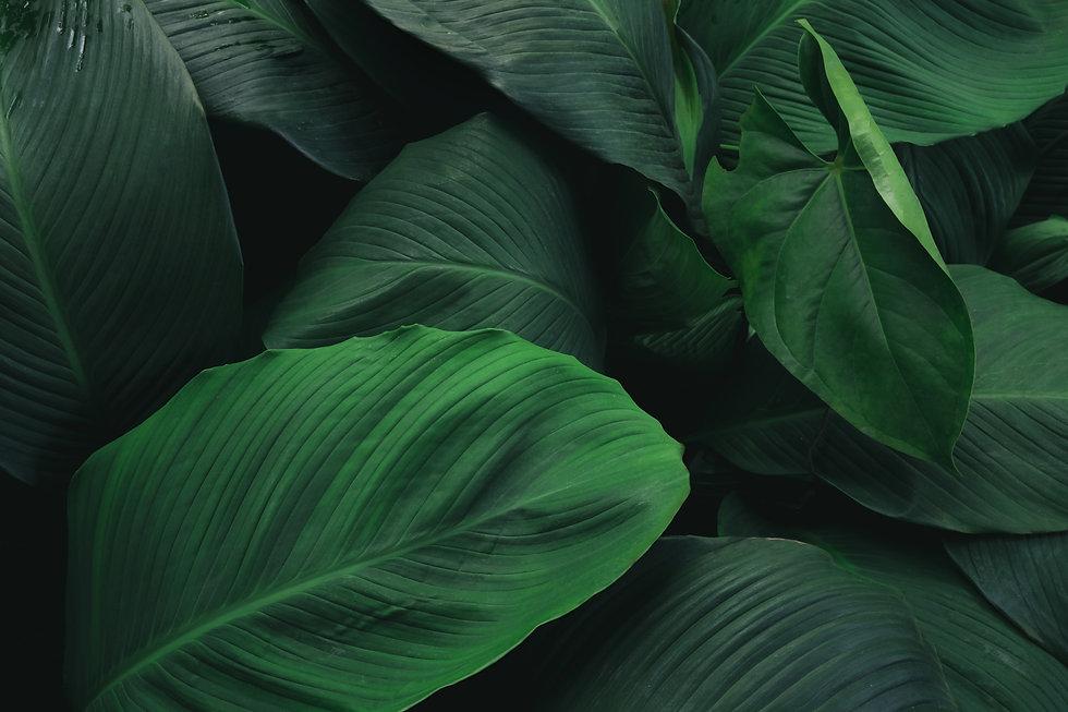 large-foliage-tropical-leaf-with-dark-gr