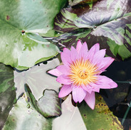 Pink Tropical Water Lily