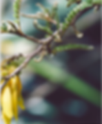 kowhai flowers.png