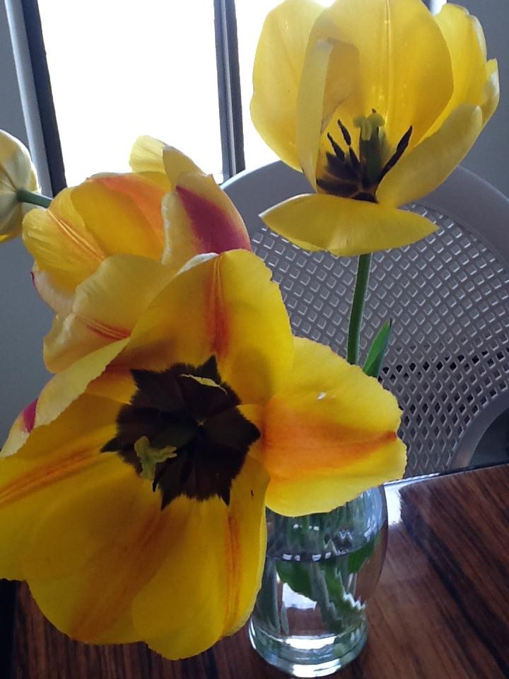 Spring Tulips Bursting.JPG