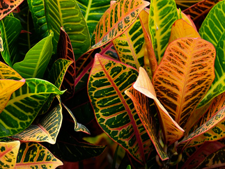 Do You Love Fall Color? Why You Need to Get a Croton