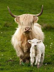 Scottish Coos!