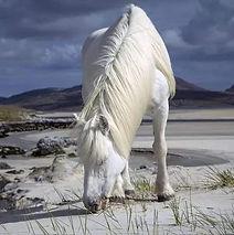 Pony on the isle of Lewis.jpg