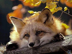 Happy Wee Fox.jpg