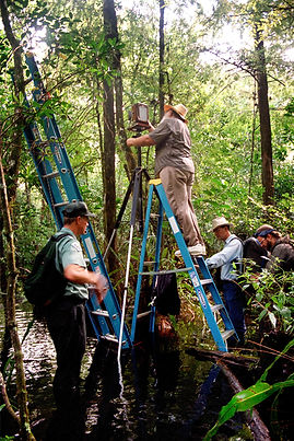 Photographing ghost orchid, clyde butcher with equipment in swamp with ladder