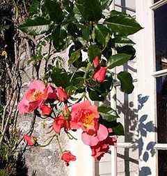 Roses on front of house