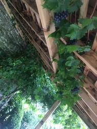 Grape vine above hot tub