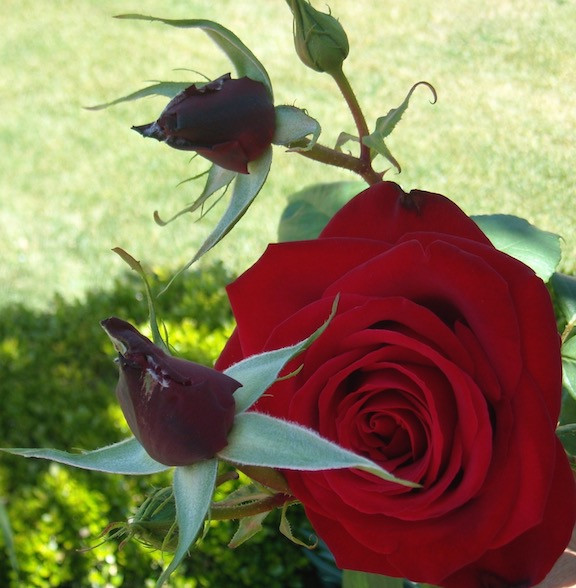 Everything you want to know about roses