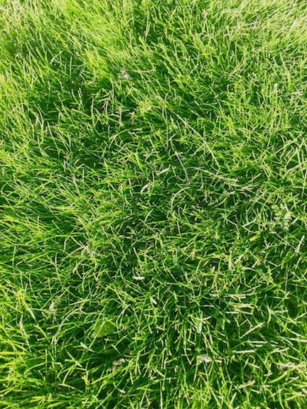 Pearl's Premium Grass