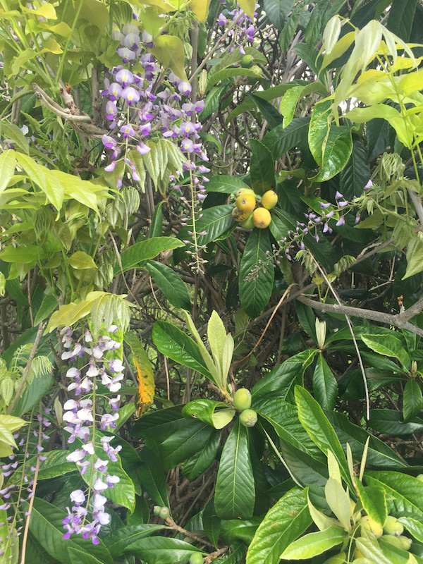 wisteria and loquats