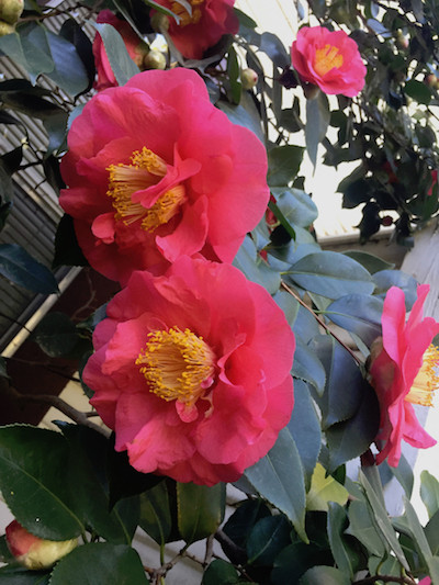 pick up fallen camellias