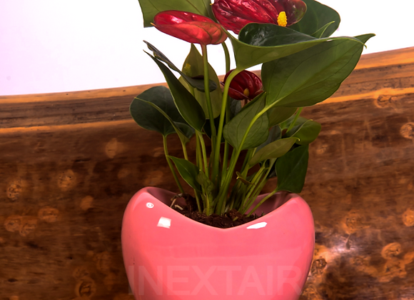 Anthurium rouge cœur ROSE