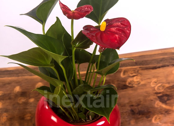 Anthurium rouge cœur Rouge