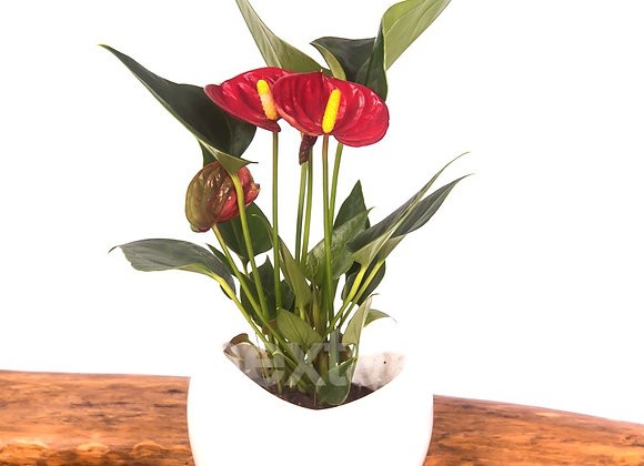 Anthurium rouge cœur Blanc