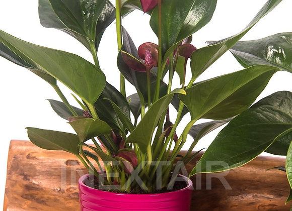 Anthurium Violet