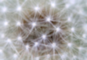 dandelion-2612639_1920.jpg