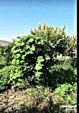 بيت على ارض مساحتها دونم مشجره بجميع انواع الاشجار للبيع