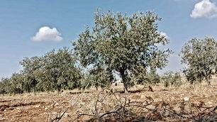 مزرعة للبيع في مادبا مزروعة 300 شجرة زيتون