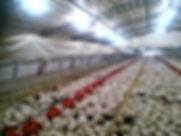 مصنع دجاج معروض للبيع في تركيا