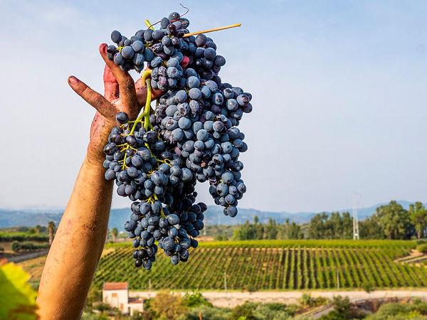 Photo Harvest in Sicily.jpeg