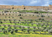 Olive Trees in Jerusalem.jpg