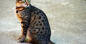 Gatos Romanos. (Atigrados)