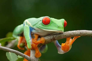 red-eye-tree-frog on branch.jpg
