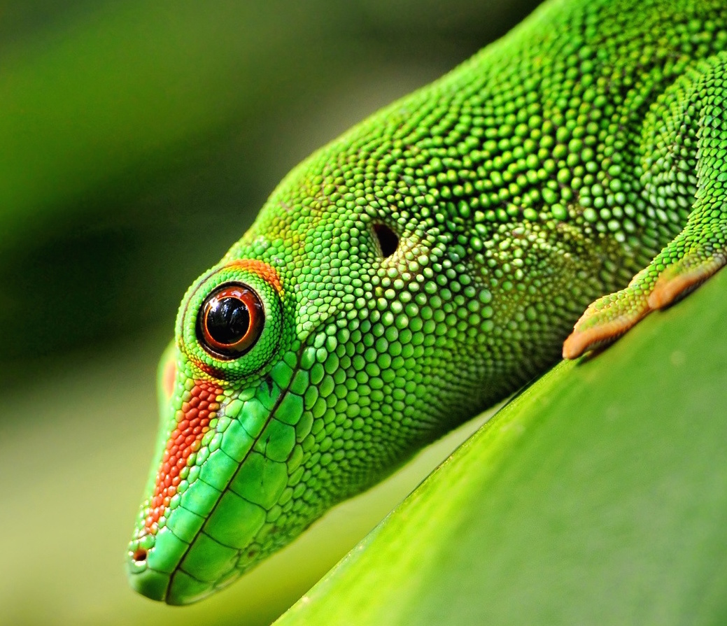 day gecko1 copy