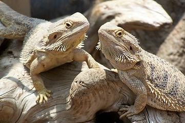 a_pair_of_bearded_dragons.jpg