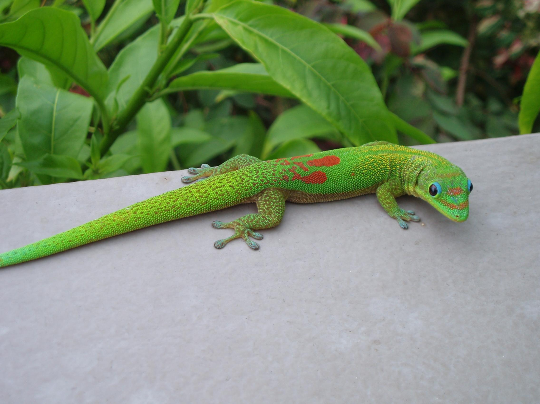 Gold_Dust_Day_Gecko