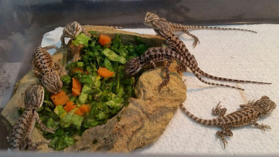 baby dragon 1st breakfast.jpg