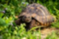 russian tortoise close up.jpg