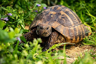 russian tortoise close up.jpg
