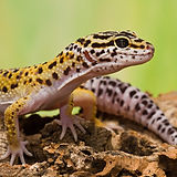 Leopard Gecko6.jpg