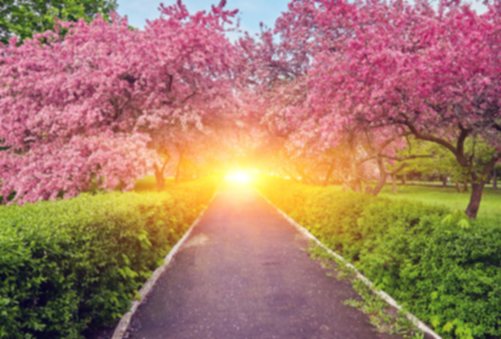 Walking Pathway through Blossoming Cherry Trees