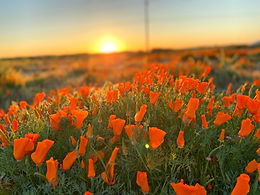 A SoCal Social Distancing Escape - Catch the Beautiful Poppies in Bloom
