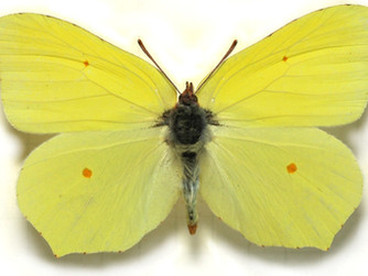 Motyl listkowiec cytrynek (latolistek cytrynek)
