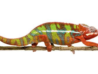 Kameleon pospolity