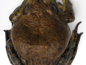 Żaba rycząca